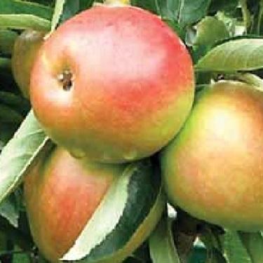 Apple 'Polka' M116