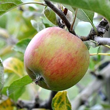 Apple 'Ribston Pippin' M116