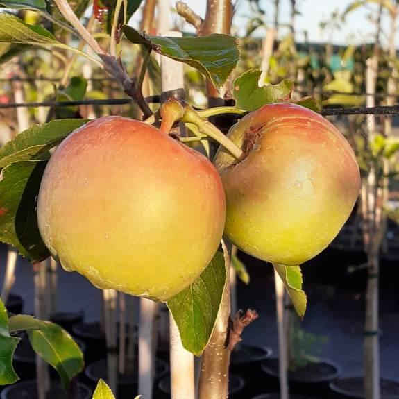 Apple 'Roy's Pearl' M116