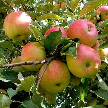 Apple 'Sidero' M116