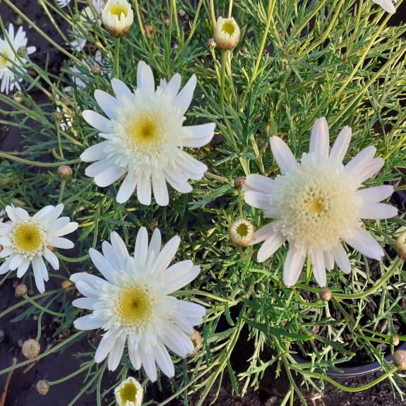 Argyranthemum 'Mystique Marguerite'