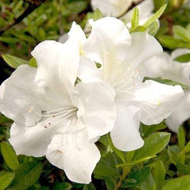 Azalea 'Autumn Ivory'