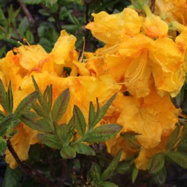 Azalea dec 'Yellow Beauty'