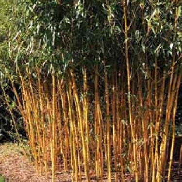 Bambusa multiplexa 'Wang Tsai'