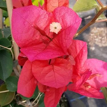 Bougainvillea 'Scarlet O'Hara'