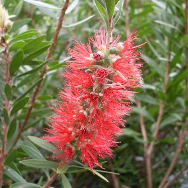 Callistemon 'Red Clusters'