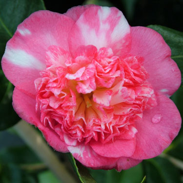 Camellia 'Baby Sis Pink'