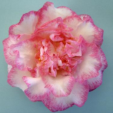 Camellia 'Betty's Beauty'