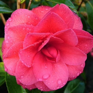 Camellia 'Black Lace'