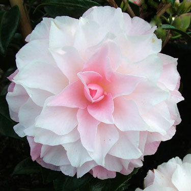 Camellia 'Buttons And Bows'