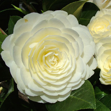Camellia 'Dahlohnega'