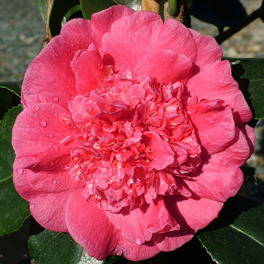 Camellia 'Dona Herzilia'
