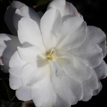 Camellia 'Fuji No Yuki'