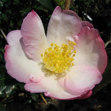 Camellia 'Gay Border'