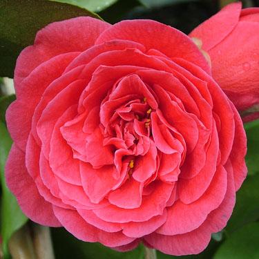 Camellia 'Glen 40'