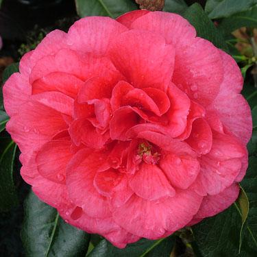 Camellia 'Harold L Paige'