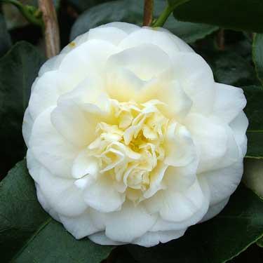Camellia 'Lemon Drop'