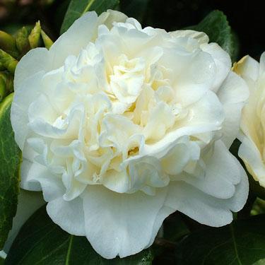 Camellia 'Man Size'