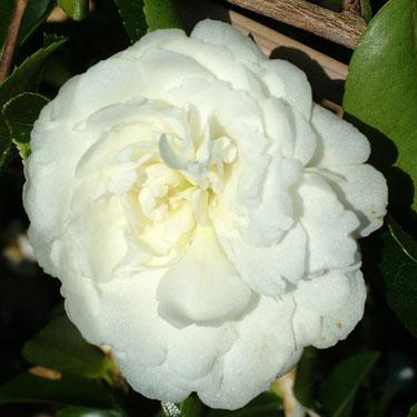 Camellia 'Mine No Yuki'