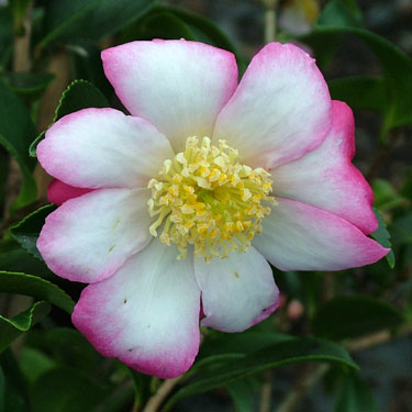 Camellia 'Navajo'