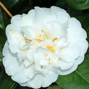 Camellia 'Onetia Holland'