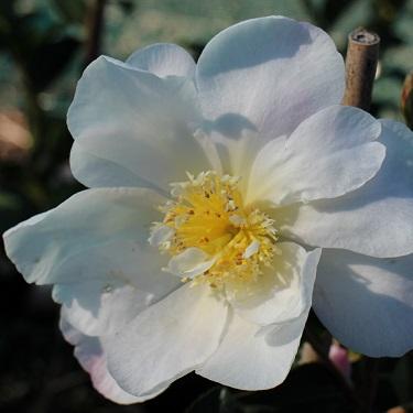 Camellia 'Paradise Vanessa'