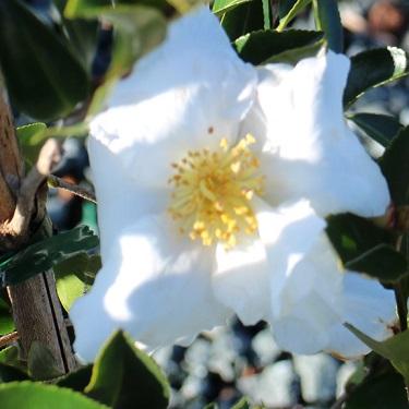 Camellia 'Plantation Snow White'
