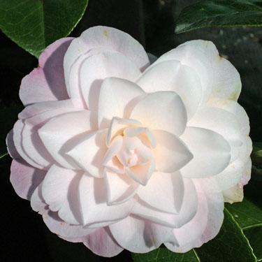 Camellia 'Queen Diana'