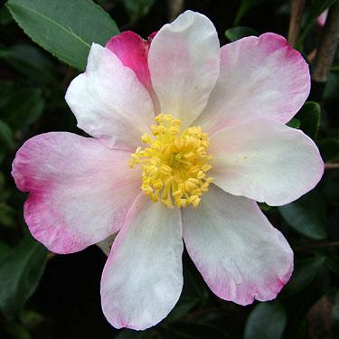 Camellia 'Rainbow'