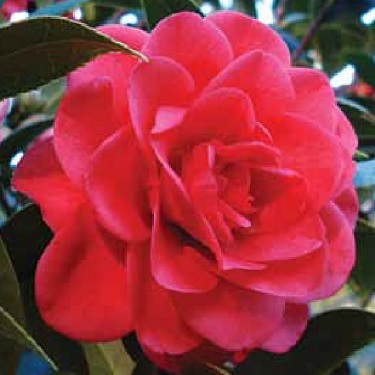 Camellia 'Roma Red'