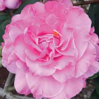 Camellia 'Rose Bouquet'