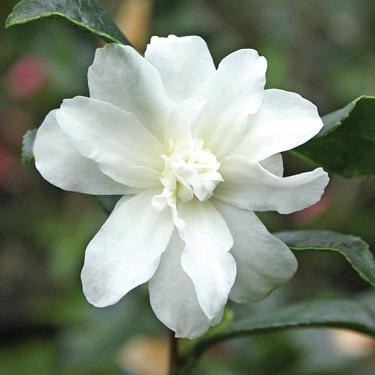 Camellia 'Silver Dollar'