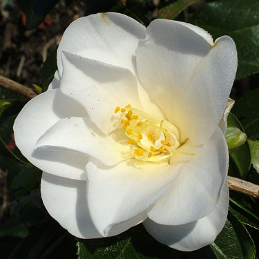 Camellia 'Silver Tower'