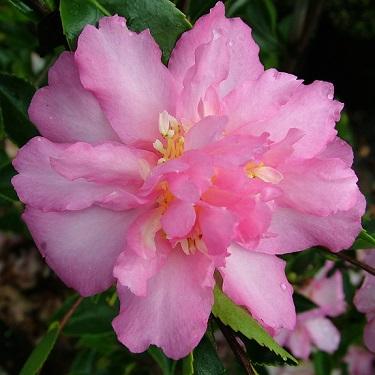 Camellia 'Sunrise Serenade'