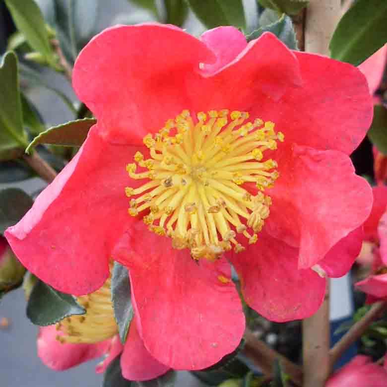 Camellia 'Yuletide'