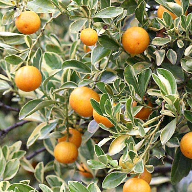 Citrus Calamondin 'Variegata'