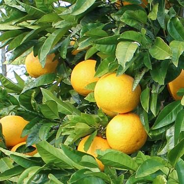 Citrus grapefruit 'Golden Special'