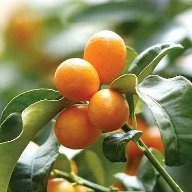 Citrus kumquat 'Meiwa'