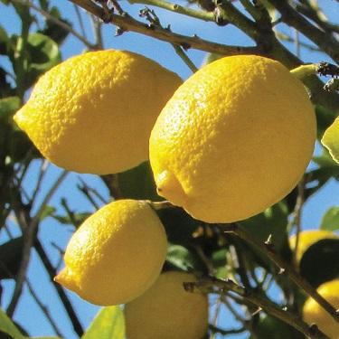 Citrus lemon 'Genoa'