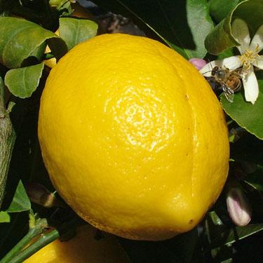 Citrus lemon 'Meyer'