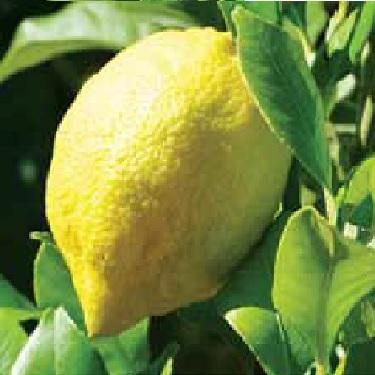 Citrus lemon 'Villa Franca'