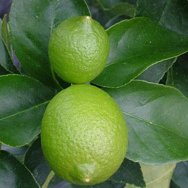 Citrus lime 'Bearss' Dwarf