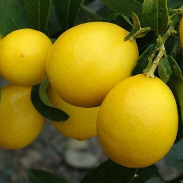 Citrus limequat 'Eustis' Dwarf