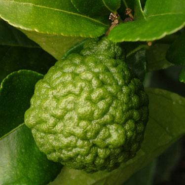 Citrus lime 'Kaffir'