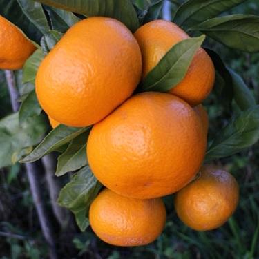Citrus mandarin 'Aoshima'
