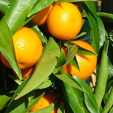 Citrus mandarin 'Clementine'