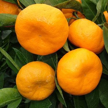 Citrus mandarin 'Kawano' Dwarf