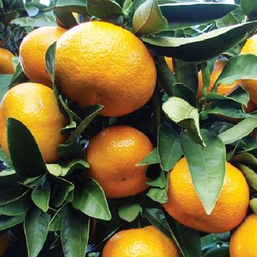 Citrus mandarin 'Miyagawa Wase'