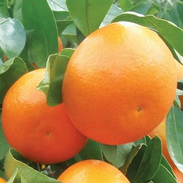 Citrus mandarin 'Okitsu Wase'