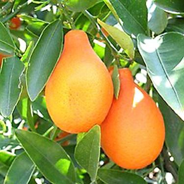 Citrus Mandarinquat